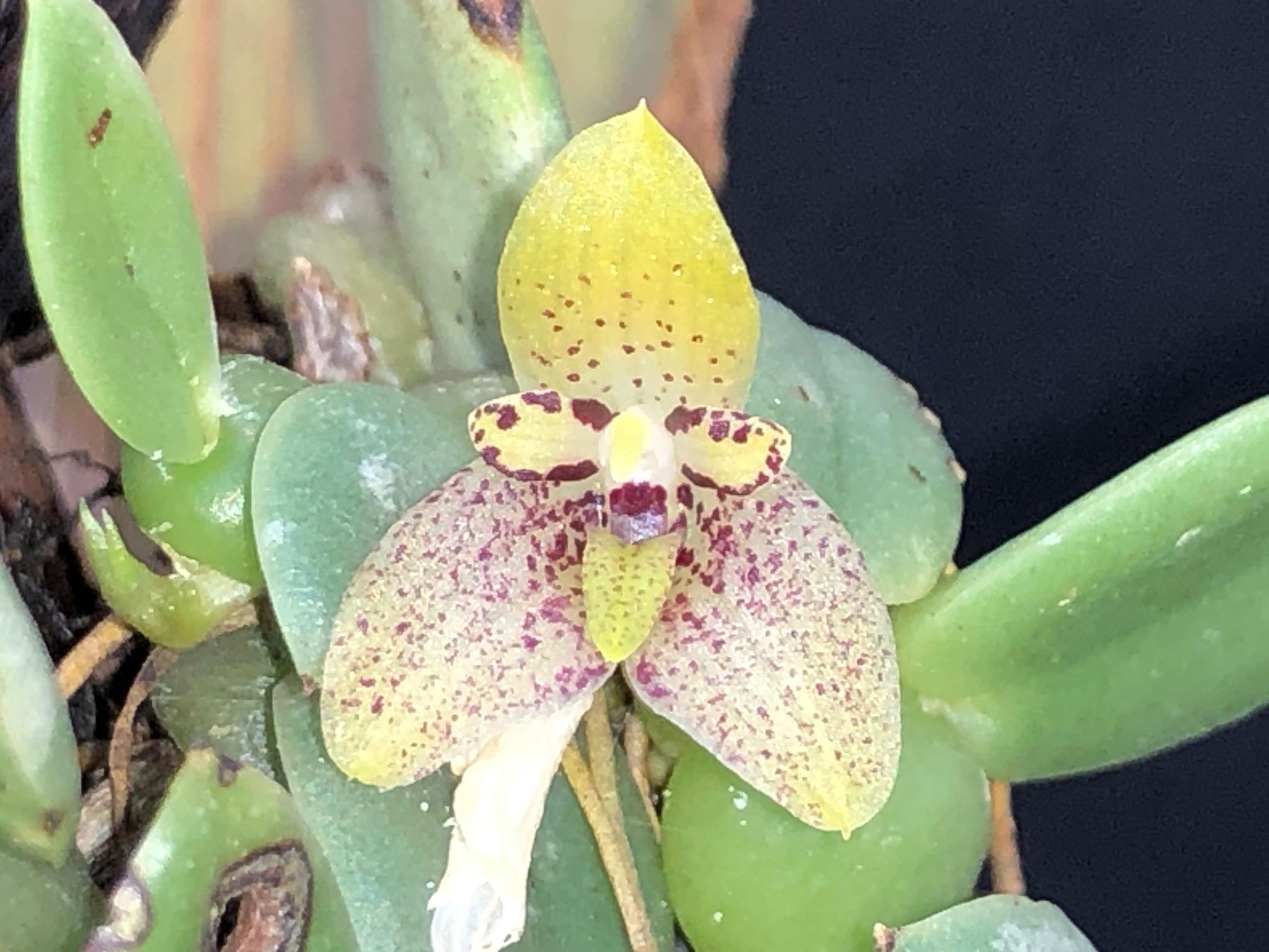 bulb-cambodianum