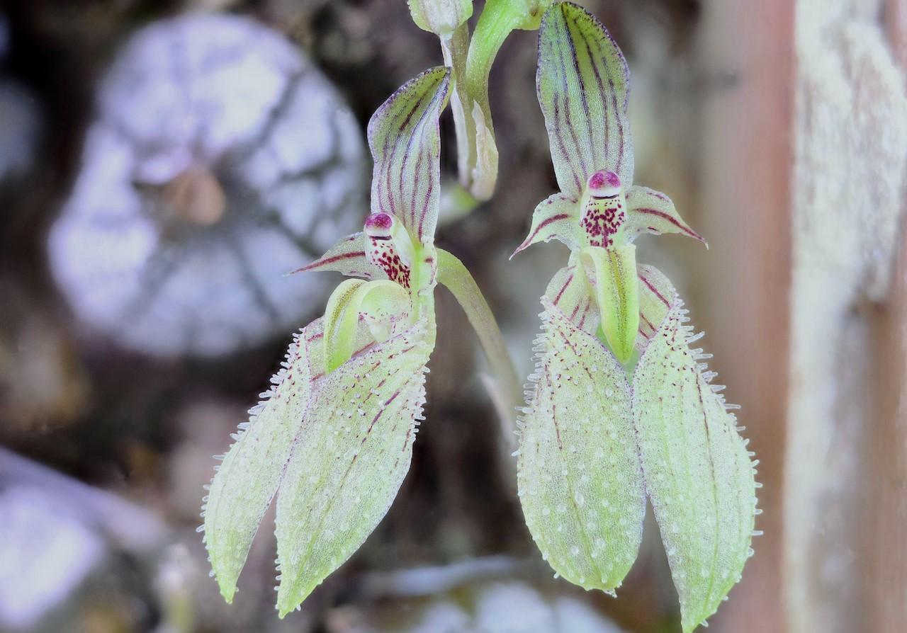 bulb-polliculosum