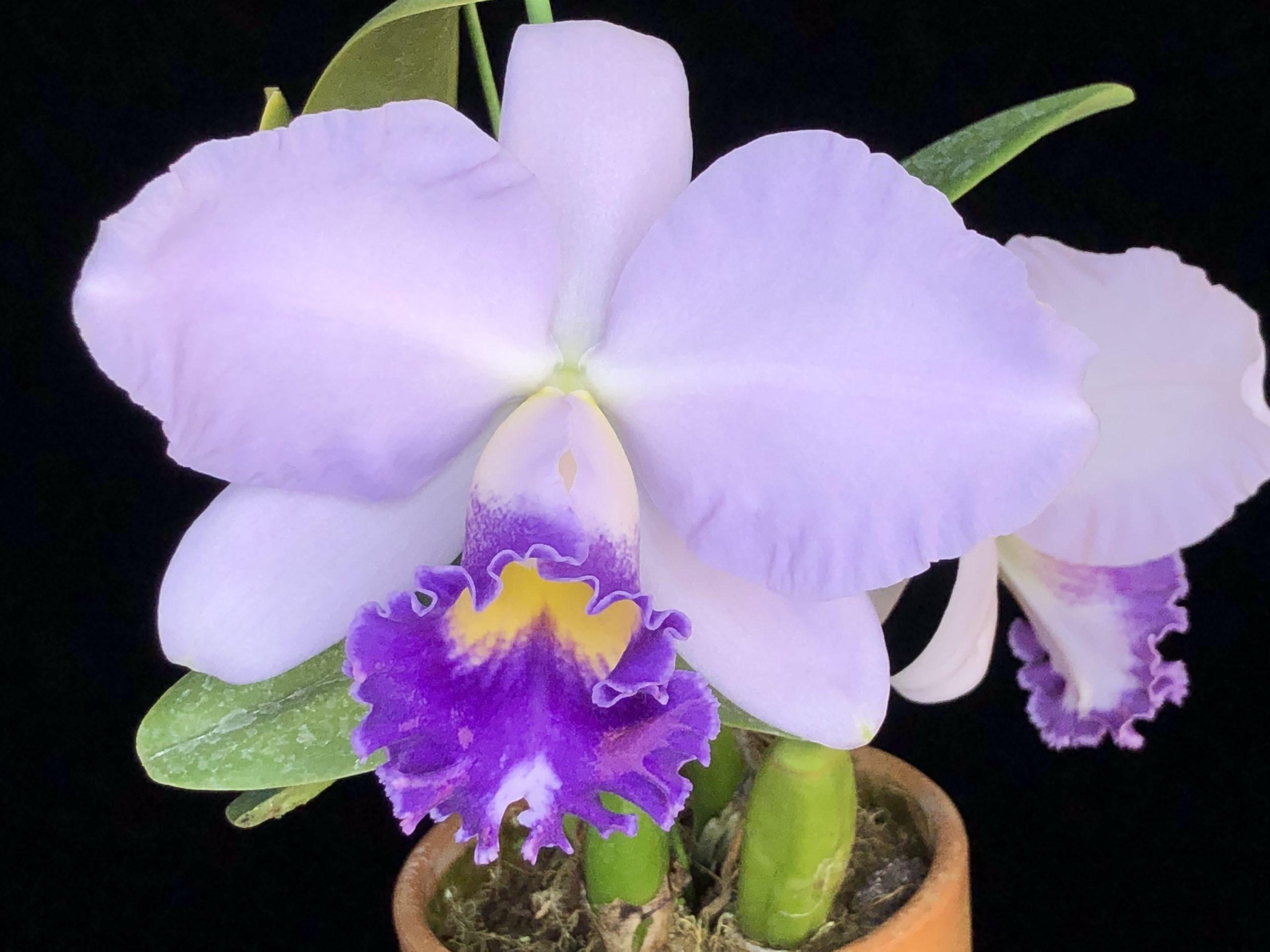 c.cornelia-shizu