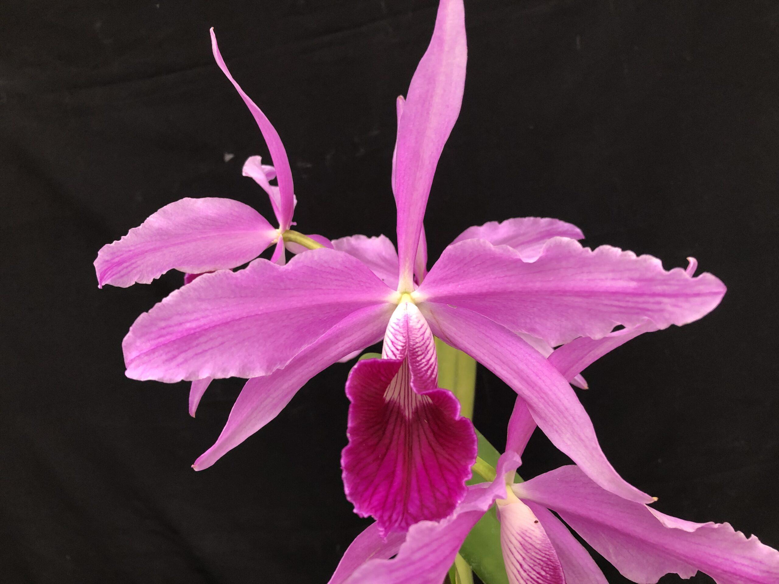 c-purpurata-sanguinea-a